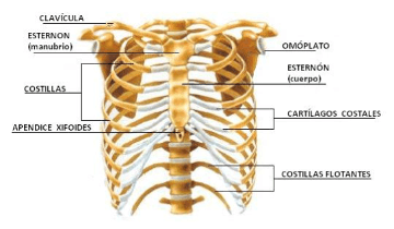 anatomy of rib cage