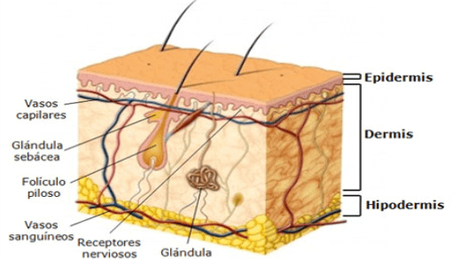 epidermis layers and components